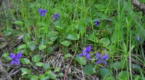 2014 wood violets