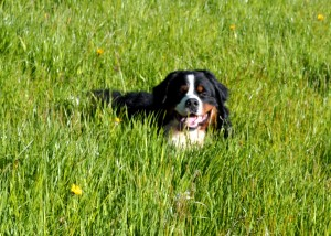 2014Jakey boy in the hay meadow