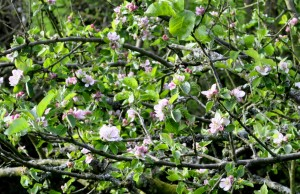 2014apple blossom