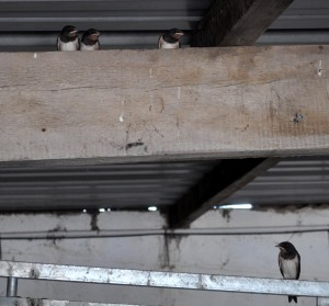 Swallows have fledged